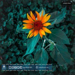 زهر نبات دوار الشمس في حديقة معبر باب الهوى - سوريا