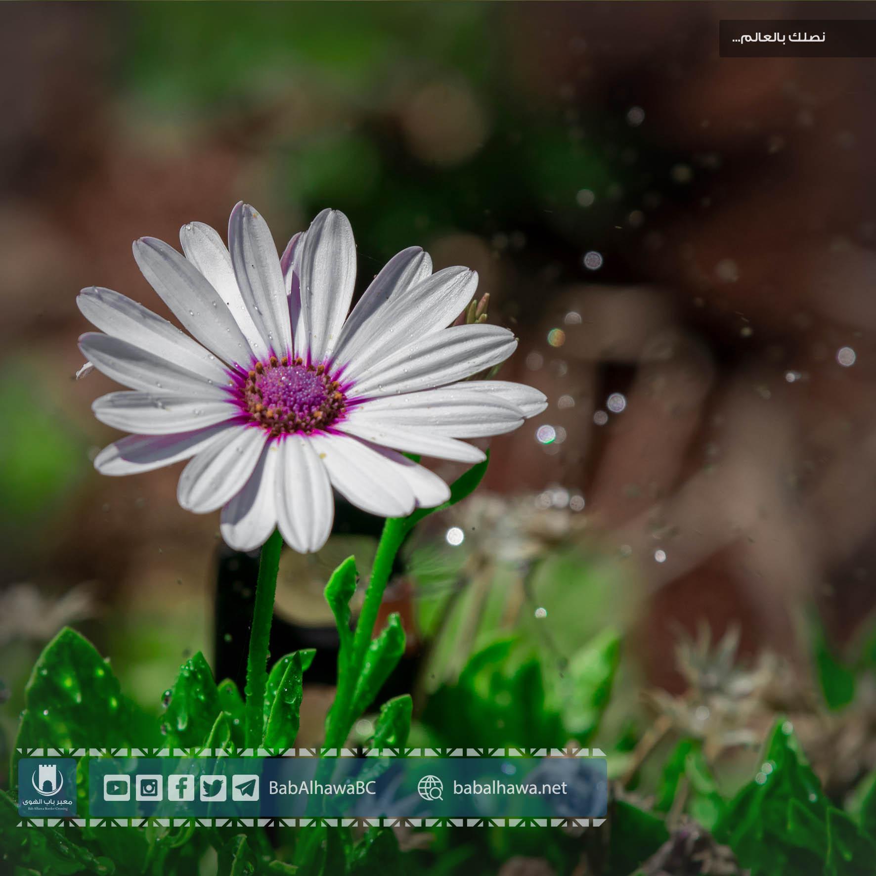 زهرة في حديقة معبر باب الهوى الحدودي - سوريا