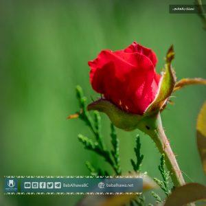 وردة في حديقة معبر باب الهوى