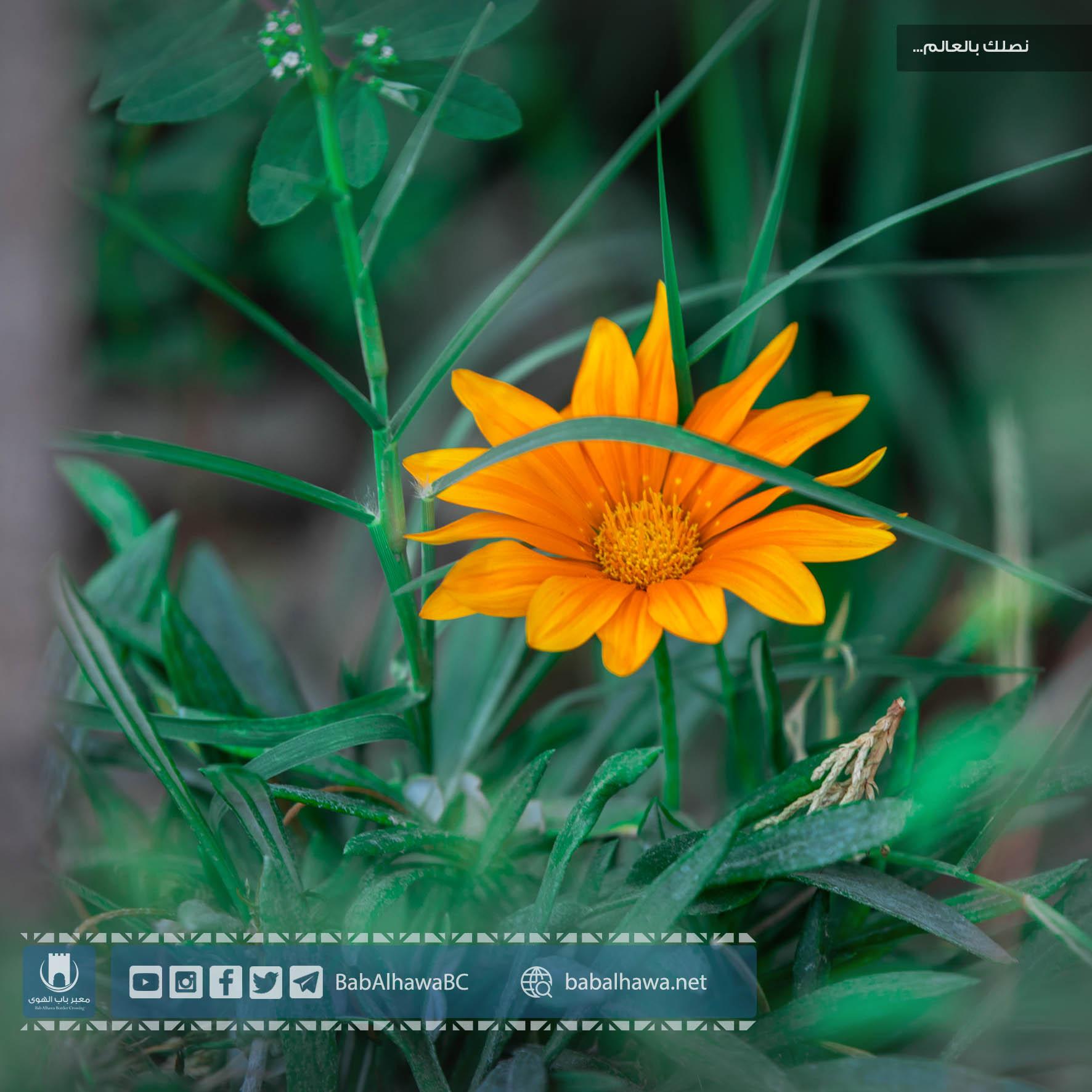 زهرة الشمس في حديقة معبر باب الهوى