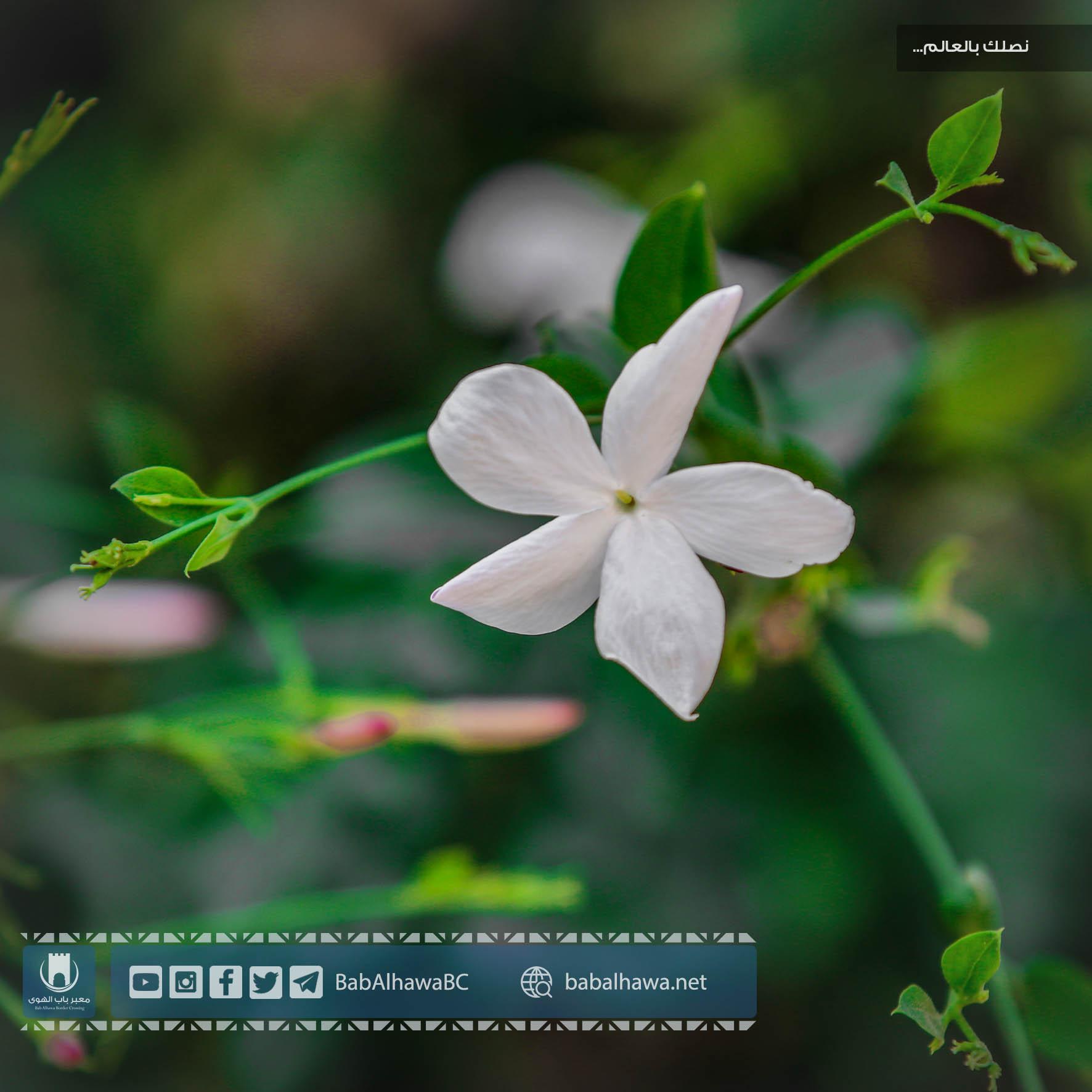 زهرة الياسمين في حديقة معبر باب الهوى - سوريا