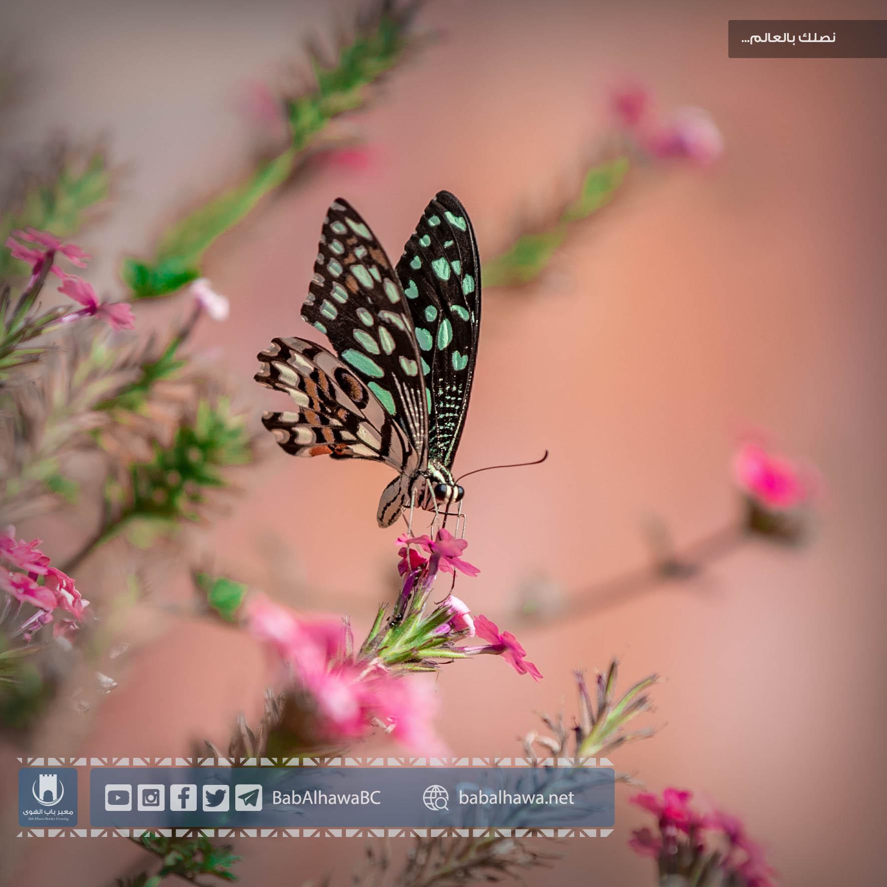 فراشة في حديقة معبر باب الهوى - سورية