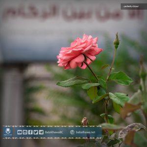 وردة في حديقة معبر باب الهوى - سوريا 2019
