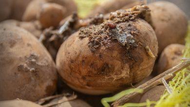 """Photo of إتلاف شحنة من مادة البطاطا مصابة ب """"جرب البطاطا"""""""