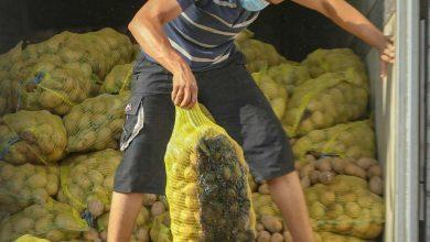 Photo of إتلاف شحنات من مادة البطاطا مخالفة للمواصفات القياسية المعتمدة